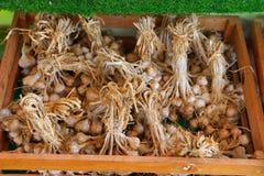 Bündel Knoblauch- oder Sativum-Speicher unter der Halle bereit geliefert zu werden, um im Markt zu verkaufen stockbilder