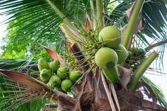 Bündel Kokosnüsse auf Kokosnussbaum Lizenzfreie Stockfotografie