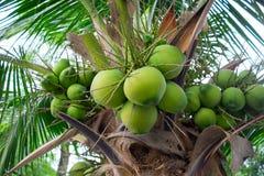 Bündel Kokosnüsse auf Kokosnussbaum Lizenzfreies Stockfoto