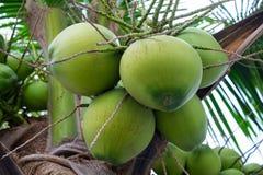 Bündel Kokosnüsse auf Kokosnussbaum Stockbild