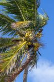 Bündel Kokosnüsse, die auf einer Palme wachsen stockbilder
