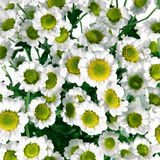 Bündel nette kleine Gänseblümchen Stockbilder
