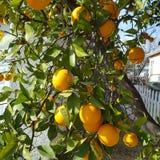 Bündel Orangen stockfotos