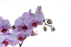 Bündel Orchideen Lizenzfreies Stockfoto