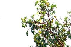 Bündel reife Avocados auf dem Baum, lokalisiert Lizenzfreie Stockfotos