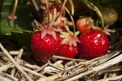 Bündel reife Erdbeeren, die an der Anlage hängen Lizenzfreie Stockfotos