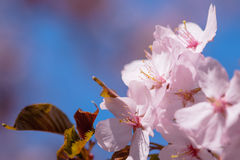 Bündel rosa japanische Kirschblumen Stockfotos