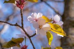 Bündel rosa Kirschblüte-Blumen Stockbild