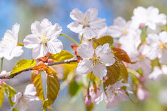 Bündel rosa Kirschblüte-Blumen Lizenzfreie Stockbilder