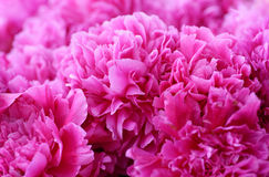 Bündel rosa Pfingstrosen Stockbild