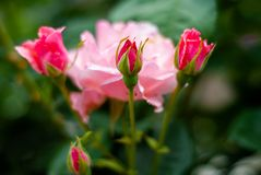 Bündel rosa Rosen, nicht schon voll Blüte stockfotografie