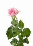 Bündel rosafarbene Blumen auf weißem Hintergrund Lizenzfreie Stockbilder