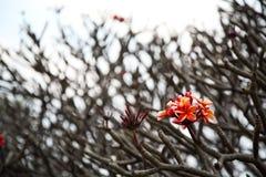 Bündel rosafarbene Plumeriablumen Lizenzfreies Stockbild