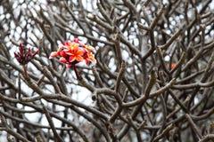 Bündel rosafarbene Plumeriablumen Stockfoto