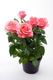 Bündel rosafarbene Rosen Lizenzfreie Stockfotografie