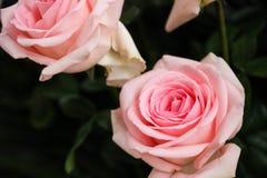 Bündel rosafarbene Rosen Stockfoto