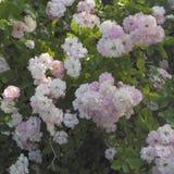 Bündel rosafarbene Rosen Lizenzfreies Stockfoto