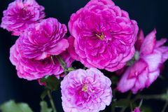 Bündel rosafarbene Rosen Stockfotografie