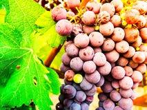 Bündel rote Trauben auf der Rebe mit grünen Blättern Stockfoto