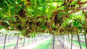 Bündel rote Trauben auf der Rebe mit grünen Blättern Stockfotografie