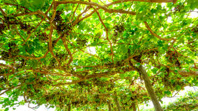 Bündel rote Trauben auf der Rebe mit grünen Blättern Stockfotos