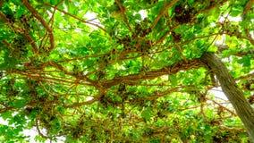 Bündel rote Trauben auf der Rebe mit grünen Blättern Lizenzfreie Stockbilder