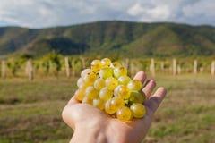 Bündel saftige Trauben in Landwirt ` s Hand Weinberg und Berge auf Hintergrund Stockfoto
