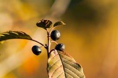 Bündel schwarze Beeren auf dem Busch Lizenzfreie Stockfotografie
