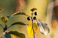 Bündel schwarze Beeren auf dem Busch Stockfoto