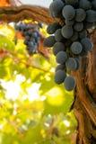 Bündel schwarze reife Weintrauben auf der Rebe Stockfotos