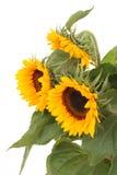 Bündel Sonnenblumen Stockfotografie