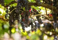 Bündel Tinta Negra Mole-Trauben auf Pergola in Estreito De Camara de Lobos auf Madeira Stockbild