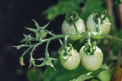 Bündel Tomatengrün Stockfoto