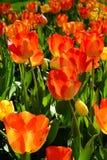 Bündel Tulpen schließen oben Lizenzfreies Stockfoto