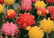Bündel vibrierende rote, rosa, gelbe Farbe Mini Cactus Plants Stockfotos