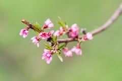 Bündel violette Apfelbaumknospen Stockbilder