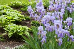Bündel violette Blumen im Garten Stockbilder
