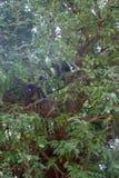 Bündel von Affen Langur erhielt den verzweigten Baum Stockbilder