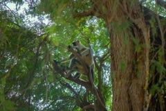 Bündel von Affen Langur erhielt den verzweigten Baum Stockfotos