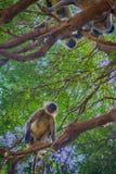 Bündel von Affen Langur erhielt den verzweigten Baum Lizenzfreies Stockbild