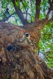 Bündel von Affen Langur erhielt den verzweigten Baum Lizenzfreie Stockfotografie