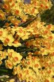 Bündel von gelbem Narcissus Jonquils Growing im Garten lizenzfreie stockbilder