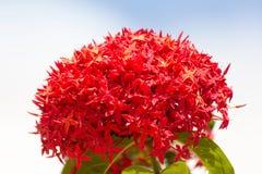 Bündel von schönem rotem Ixora blüht, indischer Jasmin wissenschaftlich Stockfoto