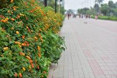 Bündel von schöner Poppy Yellow Flowers mit Park-Seitenansicht lizenzfreie stockfotos