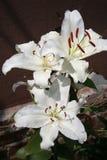 Bündel weiße Lilien Lizenzfreie Stockbilder