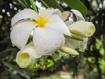 Bündel weiße Plumeria- oder franginpaniblumen bedeckt im Wasser lizenzfreie stockfotos