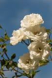 Bündel weiße Rosen Stockfoto