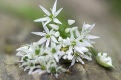 Bündel weißes Lauch ursinum krautartige Blumen und Blätter auf hölzernem Stumpf im Weißbuchewald, Frühjahrbärn-Knoblauchlaub stockbilder