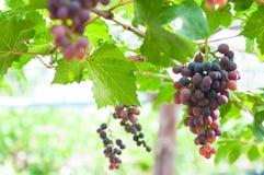 Bündel Weinreben, die an der Rebe mit grünen Blättern hängen Lizenzfreie Stockfotos