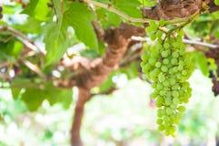 Bündel Weinreben, die an der Rebe mit grünen Blättern hängen Stockbild